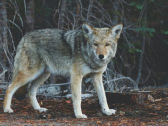 Coyote standing in the woods.
