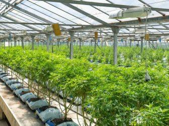 Green house growing marijuana