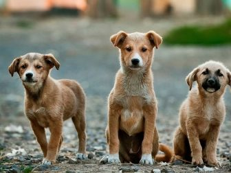 Three puppies sitting in a gravel walkway