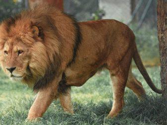 Lion walking in grass.