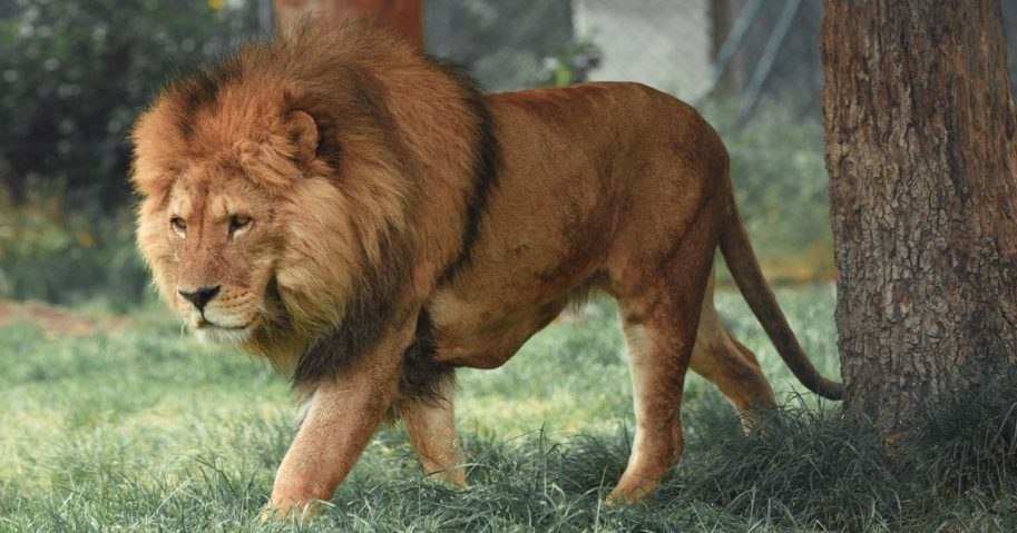 Lion walking in grass.