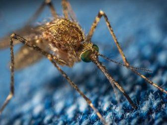 Closeup photo of a mosquito