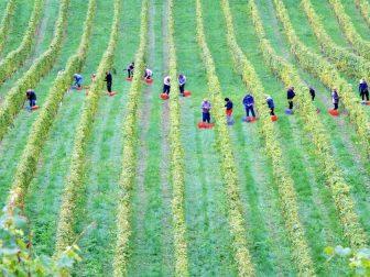 Workers in a vineyard