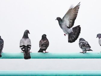 Pigeons perched on a handrail