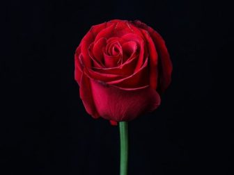 Red rose against a black background
