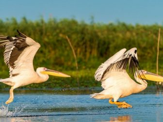 Two pelicans flying across the water