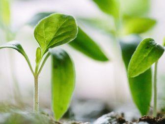 Green saplings